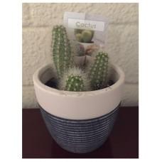 Hedgehog cacti